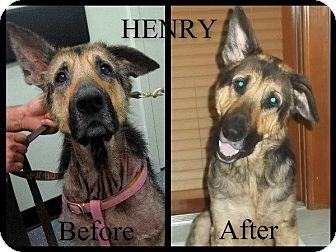 German Shepherd Dog Dog for adoption in Green Cove Springs, Florida - Henry
