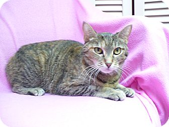 Domestic Shorthair Cat for adoption in St. Petersburg, Florida - Cecilla