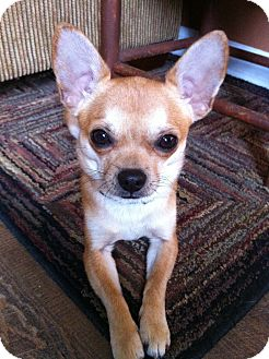 Chihuahua Mix Dog for adoption in Nashville, Tennessee - Murphey