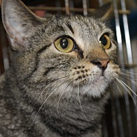 Domestic Shorthair Cat for adoption in Menomonee Falls, Wisconsin - Lucy