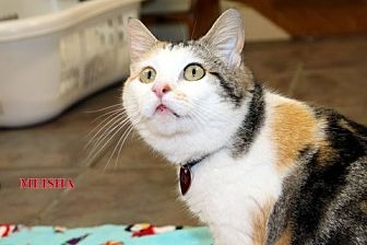 Calico Cat for adoption in Danville, Kentucky - Meisha
