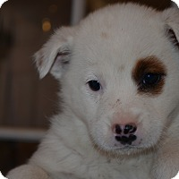 Adopt A Pet :: Piper - Westminster, CO