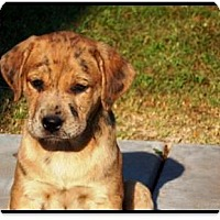 Adopt A Pet :: Mae - Gilbert, AZ