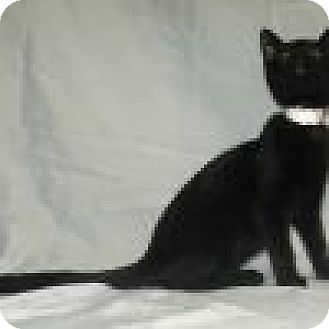 Domestic Shorthair Cat for adoption in Powell, Ohio - Korky