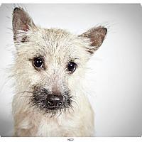Adopt A Pet :: Nico - New York, NY