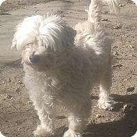 Adopt A Pet :: Blizzard - Van Nuys, CA