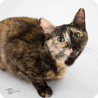 Domestic Shorthair Cat for adoption in Stafford, Virginia - Callie