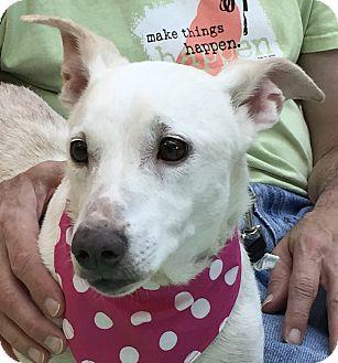 Jack Russell Terrier/Welsh Corgi Mix Dog for adoption in Evansville, Indiana - Charlotte