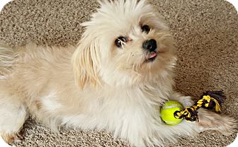 Maltese/Pomeranian Mix Dog for adoption in Boulder, Colorado - Max