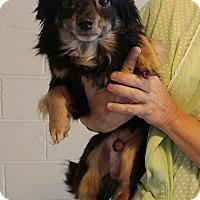 Adopt A Pet :: Piper - Sylva, NC