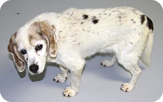 Cocker Spaniel/Beagle Mix Dog for adoption in Muskegon, Michigan - Trinity
