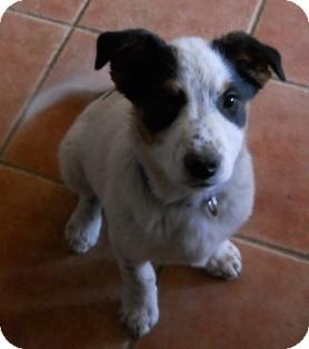 Cattle Dog/Australian Shepherd Mix Puppy for adoption in dewey, Arizona - Snoopy