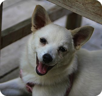 Chihuahua/Pomeranian Mix Puppy for adoption in Minneapolis, Minnesota - Snowy
