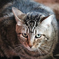 Domestic Mediumhair Cat for adoption in West Hills, California - Hugo