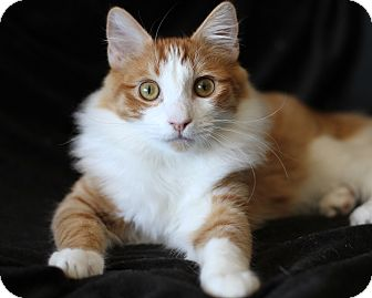 Domestic Mediumhair Kitten for adoption in Yorba Linda, California - Jake