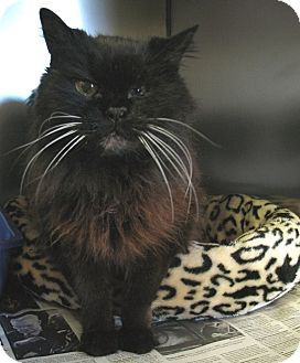Persian Cat for adoption in Quincy, Massachusetts - Chloe the Persian