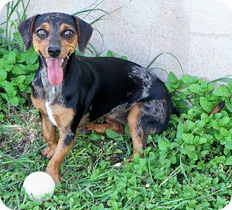 Dachshund Mix Dog for adoption in San Angelo, Texas - Becka