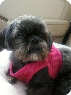 Shih Tzu Mix Dog for adoption in Harrisonburg, Virginia - Mattie