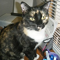 Domestic Shorthair Cat for adoption in Manning, South Carolina - Paloma