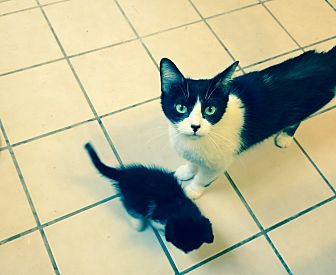 Domestic Shorthair Cat for adoption in Monrovia, California - Puff and Kittens