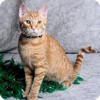 Domestic Shorthair Cat for adoption in Richardson, Texas - Charlie Anderson