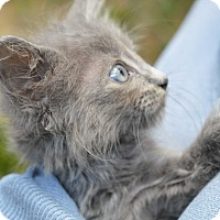 Adopt A Pet :: Pickwick - Stanford, CA
