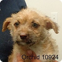 Adopt A Pet :: Orchid - baltimore, MD