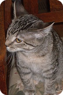 Domestic Shorthair Cat for adoption in Buhl, Idaho - Luisa Wagtail