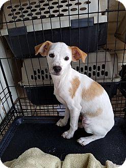 Cavalier King Charles Spaniel/Chihuahua Mix Puppy for adoption in TAHOKA, Texas - KING CHARLES