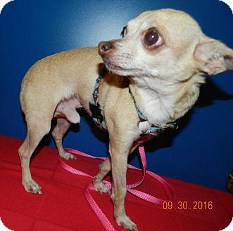Chihuahua Dog for adoption in Umatilla, Florida - Leo
