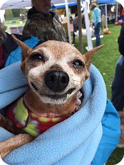 Miniature Pinscher Dog for adoption in Vernon, Connecticut - Daisy & Dreamer
