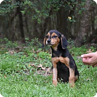 Adopt A Pet :: Poppy - Groton, MA