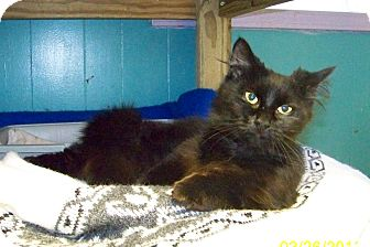 Domestic Mediumhair Cat for adoption in Dover, Ohio - Shadow