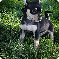 Adopt A Pet :: Banjo - Broomfield, CO
