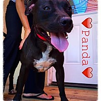 Adopt A Pet :: Panda - Dana Point, CA