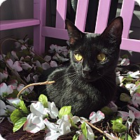 Domestic Shorthair Cat for adoption in Greensburg, Pennsylvania - Storm
