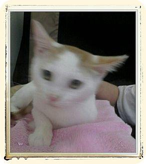 Domestic Shorthair Kitten for adoption in Trevose, Pennsylvania - Bryce