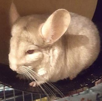 Chinchilla for adoption in Patchogue, New York - Ambrosia