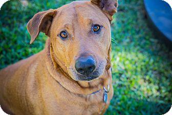 Rhodesian Ridgeback/Shar Pei Mix Dog for adoption in Houston, Texas - Rusty