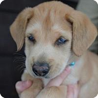 Adopt A Pet :: Spencer - Danbury, CT