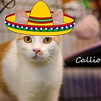 Domestic Shorthair Cat for adoption in Albuquerque, New Mexico - Calliope