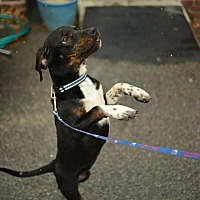 Adopt A Pet :: Spec - Beacon, NY