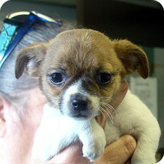 Brussels Griffon/Chihuahua Mix Puppy for adoption in Greencastle, North Carolina - Nilla