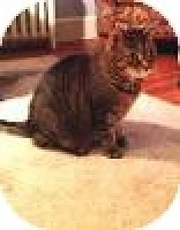 Domestic Shorthair Cat for adoption in Manchester, Connecticut - Tabby