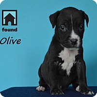 Adopt A Pet :: Olive - Chicago, IL