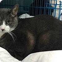 Adopt A Pet :: Gomez - New York, NY