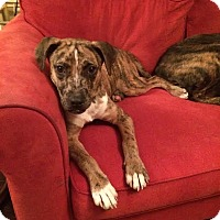 Adopt A Pet :: Sonny Liston - Homewood, AL