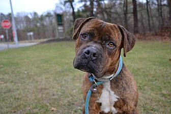 Boxer Mix Dog for adoption in Brookhaven, New York - Wesson