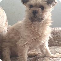 Adopt A Pet :: Coco-new photos! - Foster, RI