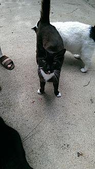 Domestic Shorthair Cat for adoption in Naples, Florida - Jordon